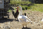 Chickens and geese on a farm. — Стоковое фото