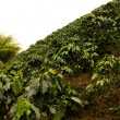 Stock Photo: Coffee fields. Colombia