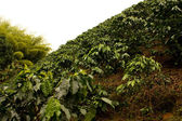 Coffee fields. Colombia — Stock Photo