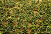 Coffee fields. Colombia — Stock Photo