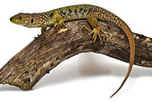 Colorful lizard on a piece of wood. — Stock Photo