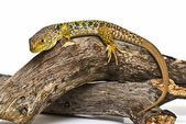 Ocellated lizard on a branch. — Stock Photo
