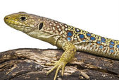 Yellow and blue lizard. — Stock Photo