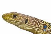 Closeup from a lizard. — Stock Photo