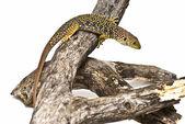 Lizard between branches. — Stock Photo