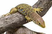 Detail of a lizard. — Stock Photo