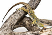 Lizard waiting for a prey. — Stock Photo
