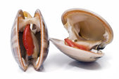 Two smooth clams. — Stock Photo