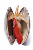 滑らかな貝のイヤリング. — ストック写真
