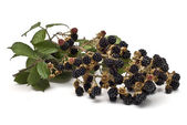 A branch full of blackberries. — Stock Photo