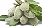 Green almonds with leaves and branches. — Stock Photo