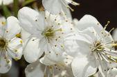 Blossoming branch — Stok fotoğraf