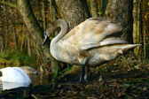 Young swan on lakeside — Stock Photo