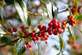 Holly Berries — Stock Photo