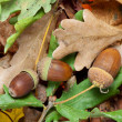 Stock Photo: Acorns