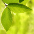 green leaves — Stock Photo