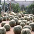 Cactus in greenhouses — Stock Photo #7154055