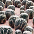 Stock Photo: Cactus in greenhouses