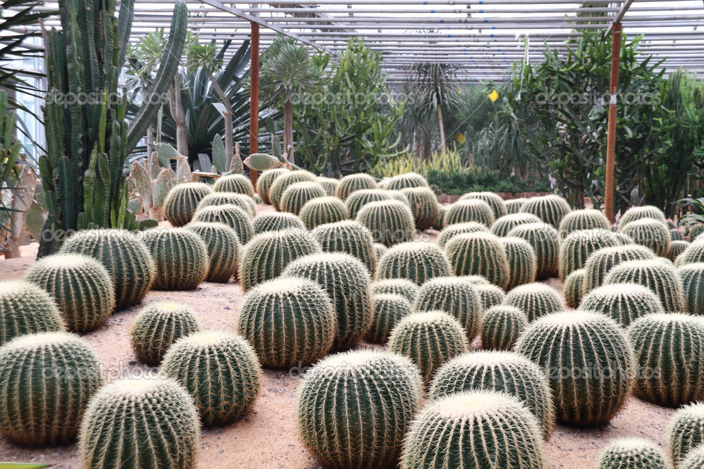 Cactus in desert plants greenhouses  — Stock Photo #7154055