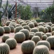 Cactus in greenhouses — Stock Photo