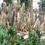 Cactus in greenhouses — Stock Photo