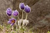 Eastern pasqueflower flowers — Stock Photo