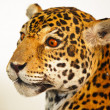 Stock Photo: Specimen jaguar