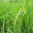 Green paddy rice - Stock Photo