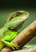 Green iguana on tree branch — Stock Photo