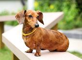 Dachshund dog in park — Stock Photo