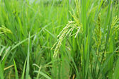 Green paddy rice — Stock Photo
