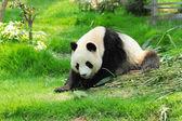 Panda sauvage — Photo