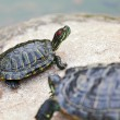 Turtle — Stock Photo #7358699