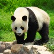 Stock Photo: Cute Panda