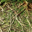 Tree root — Stock Photo