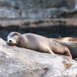 Sea lion — Stock Photo #7693206