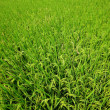 Paddy Rice — Stock Photo #7693239