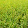Paddy field — Stock Photo #7693495