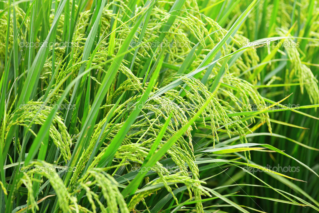 Paddy Rice — Stock Photo #7693502