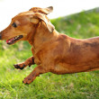 Dachshund dog run and jump — Stock Photo