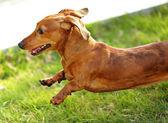 Dachshund dog run and jump — Stock Photo