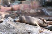Sea lion — Stock Photo