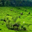 Balinese rice fields are created as terraces — Stock Photo