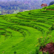 Balinese rice fields are created as terraces — Stock Photo #7358539