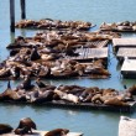 Sea Lions rest near Pier 39 in San Francisco — Stock Photo