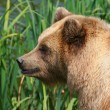 Brown bear — Stock Photo #6848573