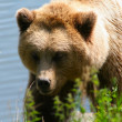 Brown bear — Foto de stock #6848584