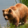 Brown bear — Foto de stock #6848613