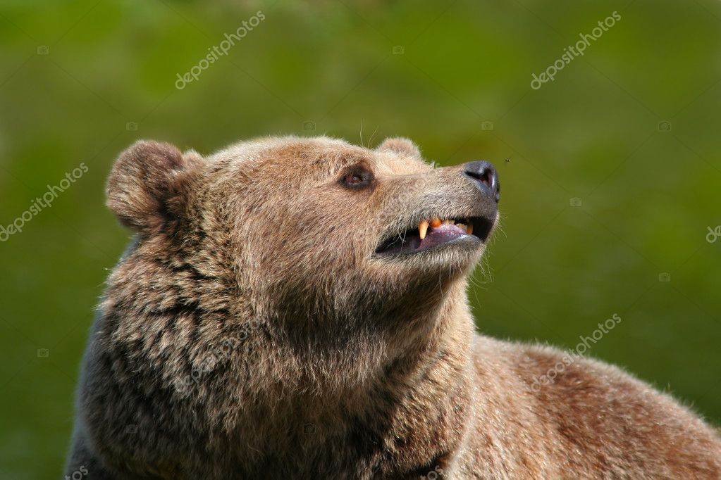 Brown bear on a green background  Stock Photo #6848557