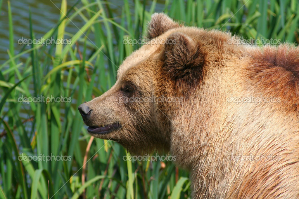 Brown bear on a green background — Photo #6848573